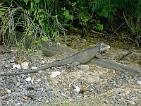 St Barts Lizard